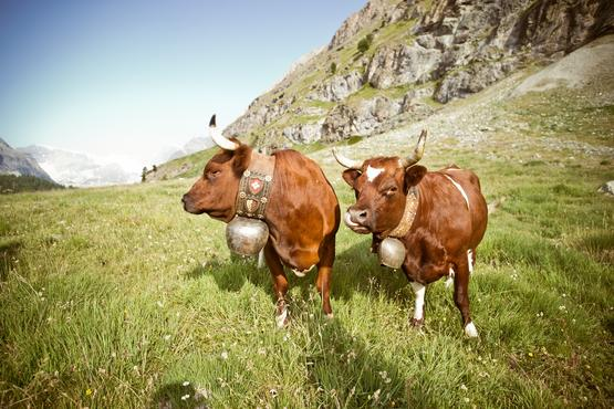 Amongst other cow breeds some cows of the Evolène race graze on the alpine meadows at Riffelalp.