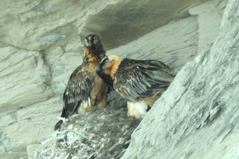 Observing the Bearded Vulture