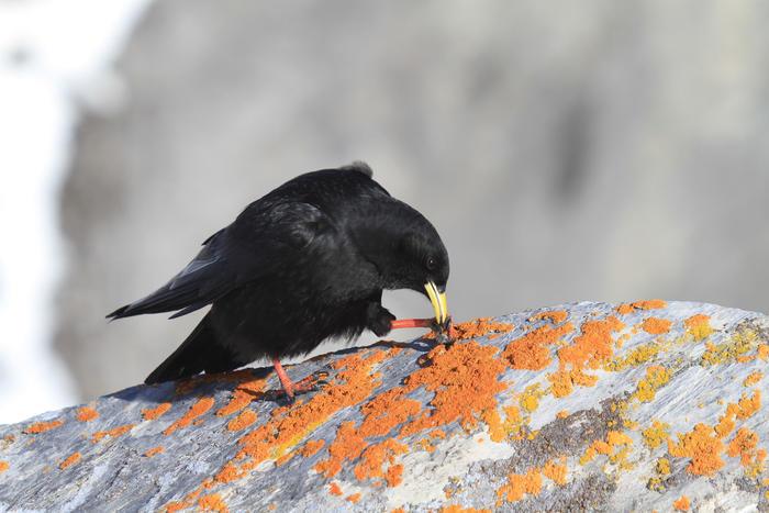 im gebirge lebender rabenvogel